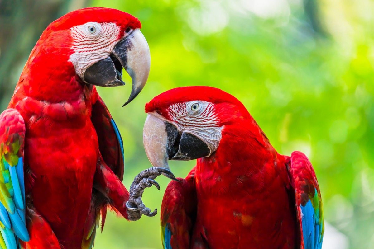 Scarlet macaw parrots perched on a branch