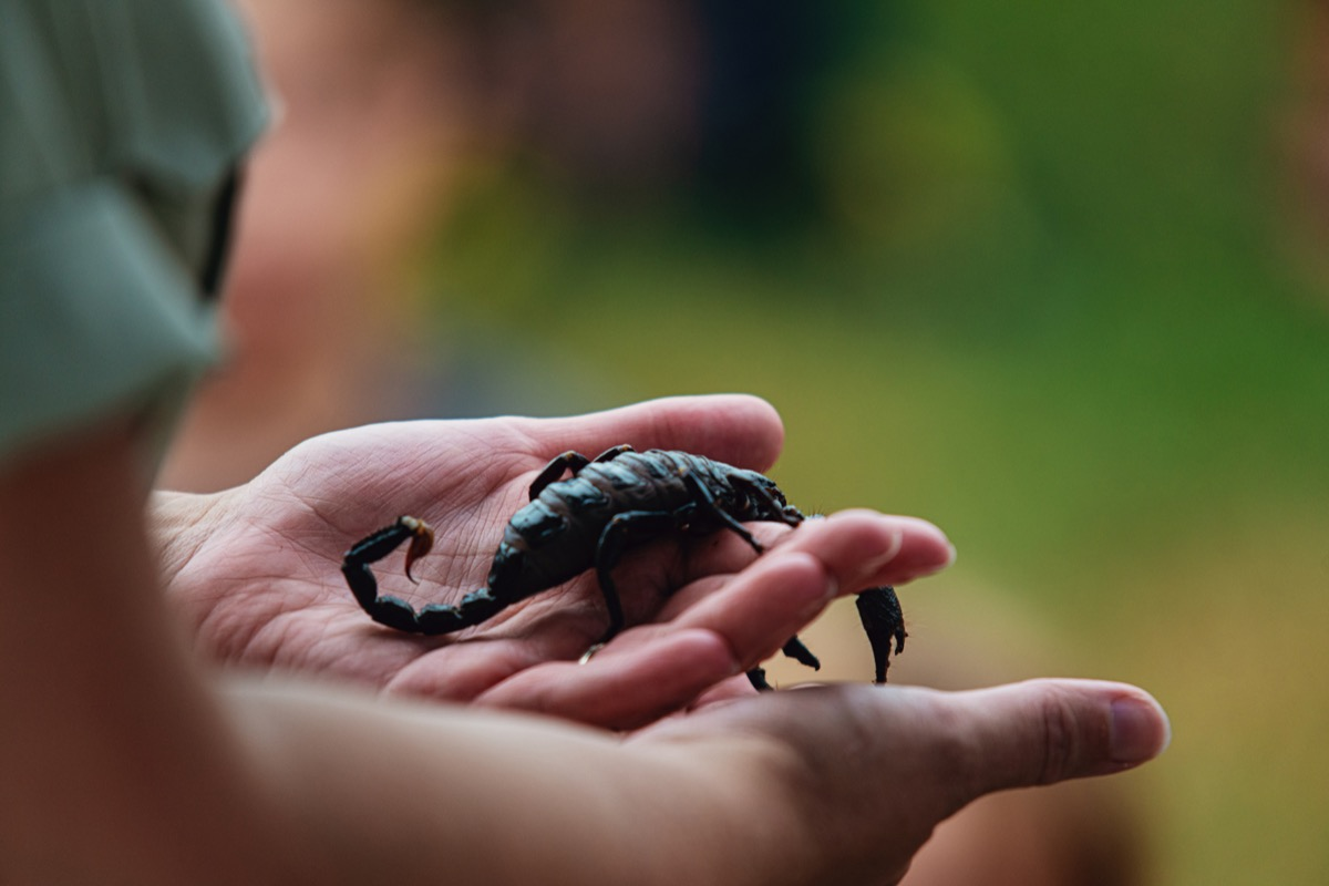 a woman carefully holds a scorpion.