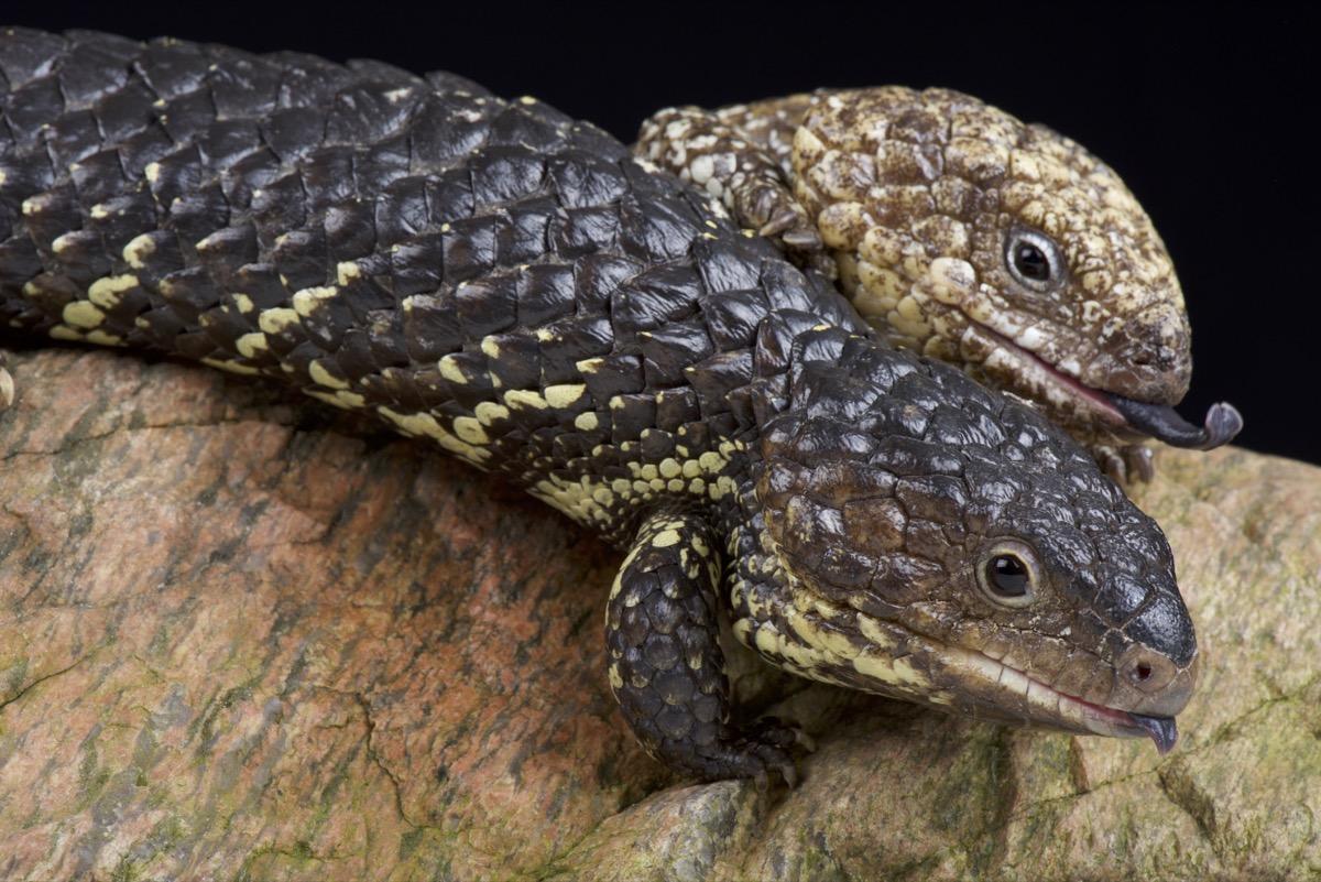 Two shingleback lizards