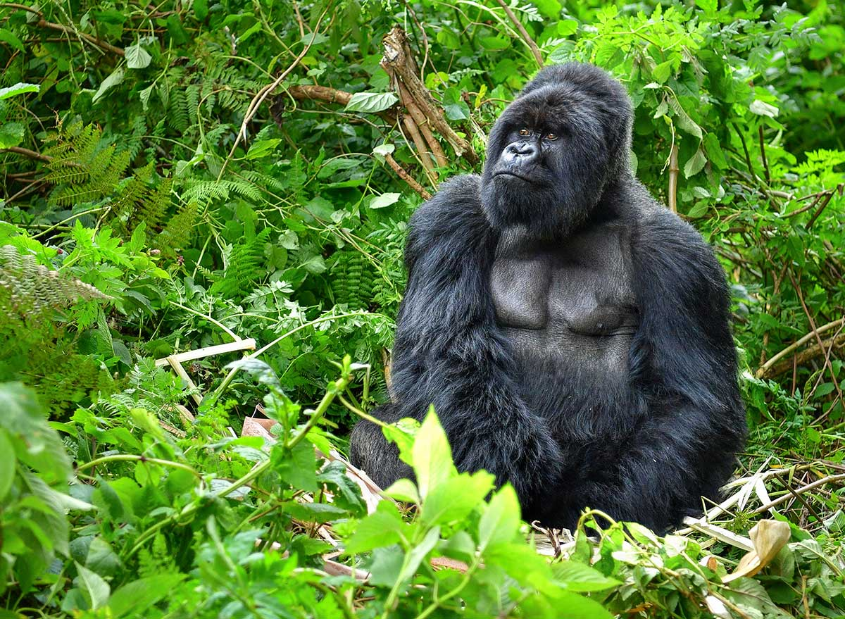 a gorilla sits in green forest