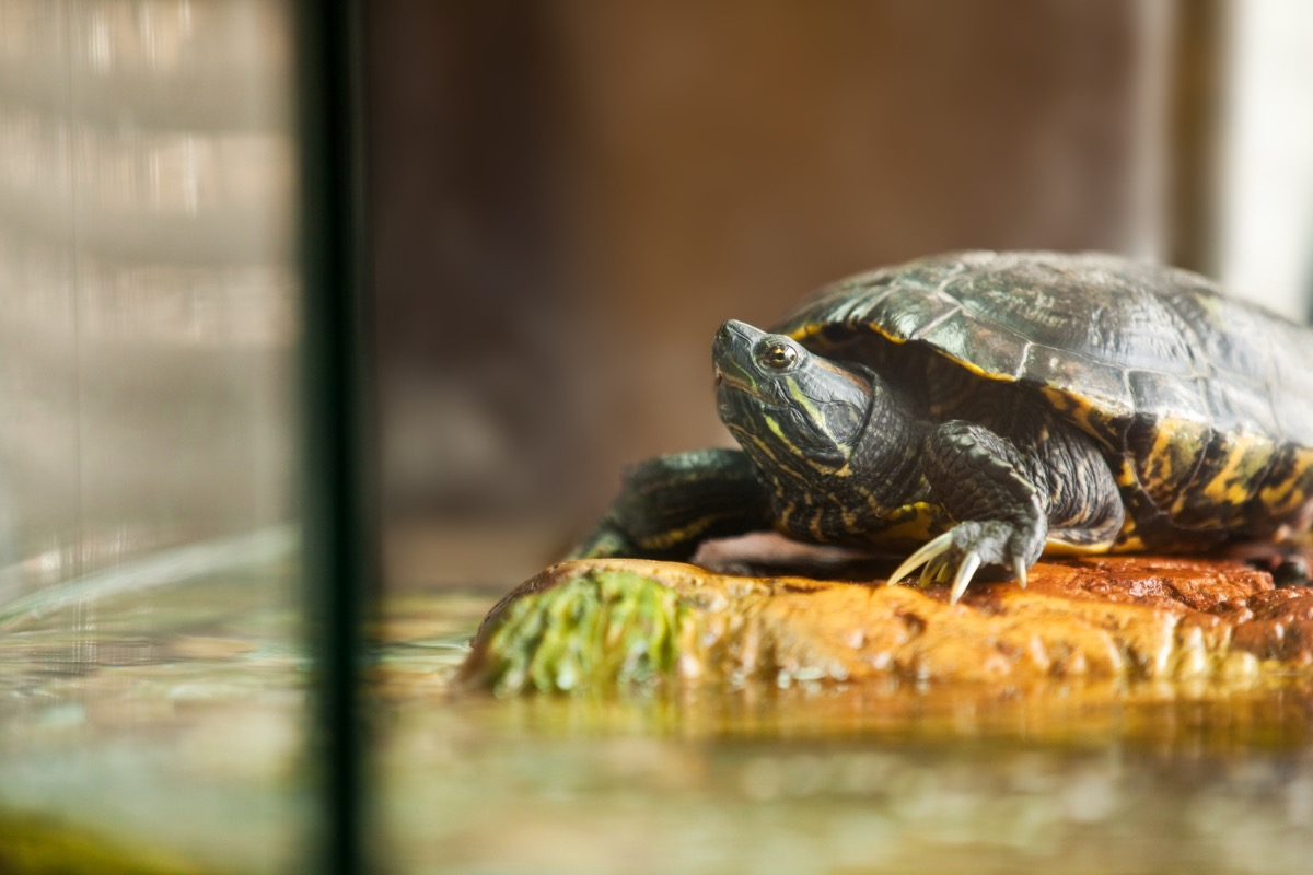 close up of a red eared slider turtle relaxing on a rock insode of his aquarium.