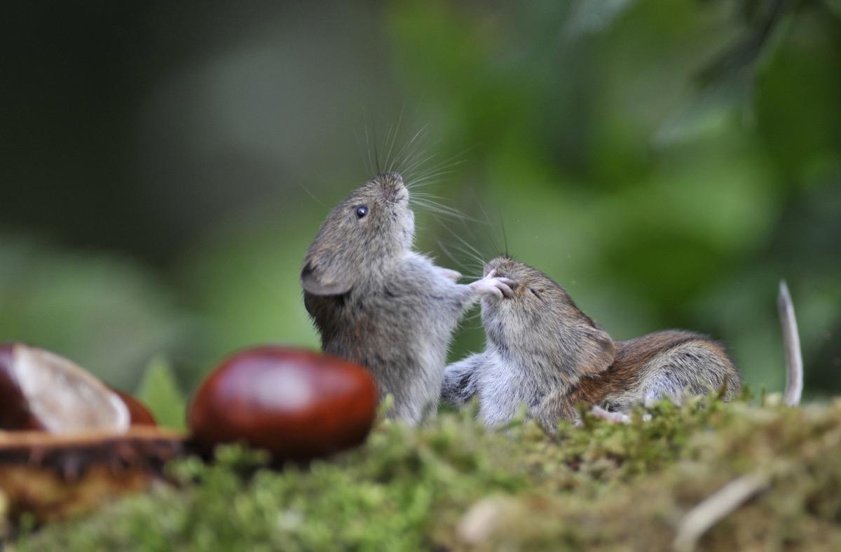 Small voles