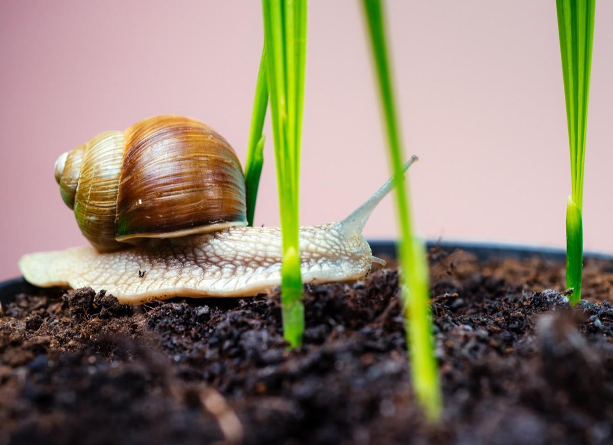 snail as a pet