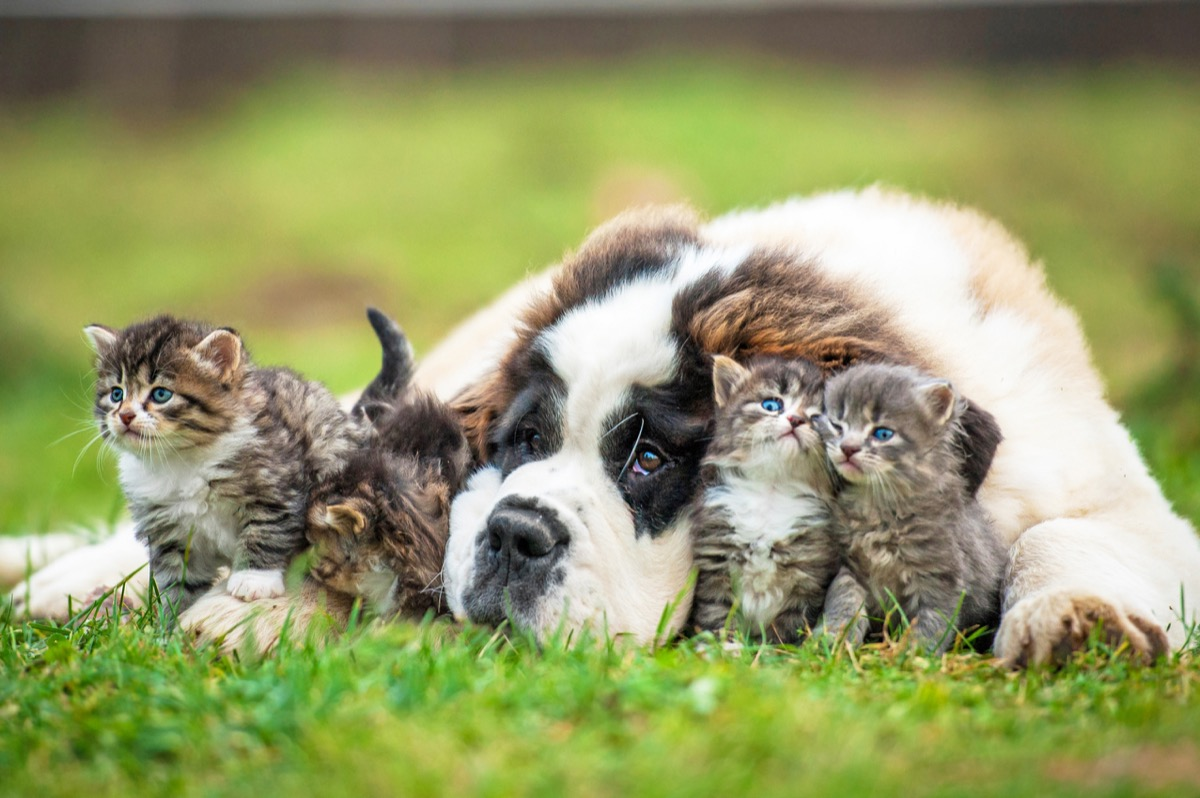 Saint Bernard puppy hanging out with some kittens