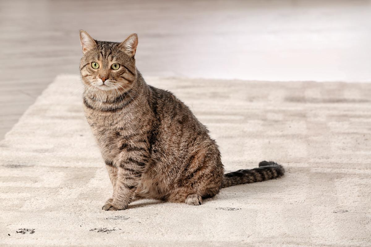tabby cat on rug