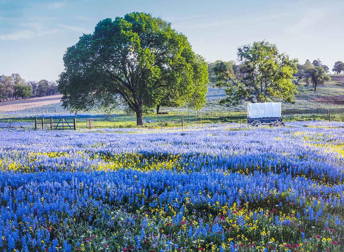 bluebell flowers blanket a field