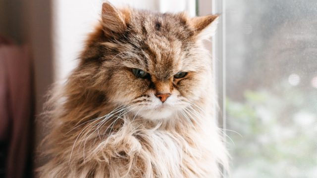 upset long haired cat