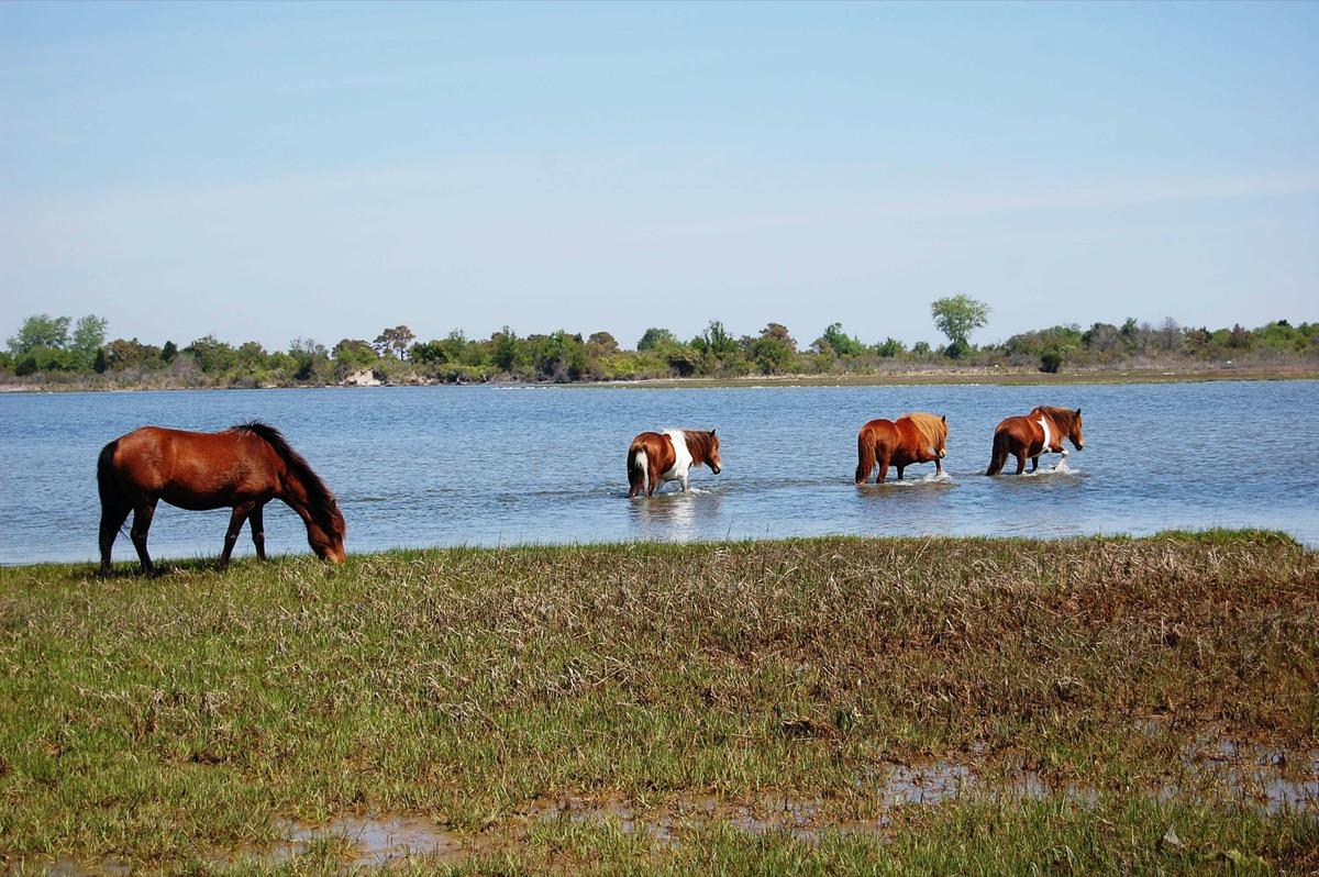 wild horses make their way across the salt marsh in maryland