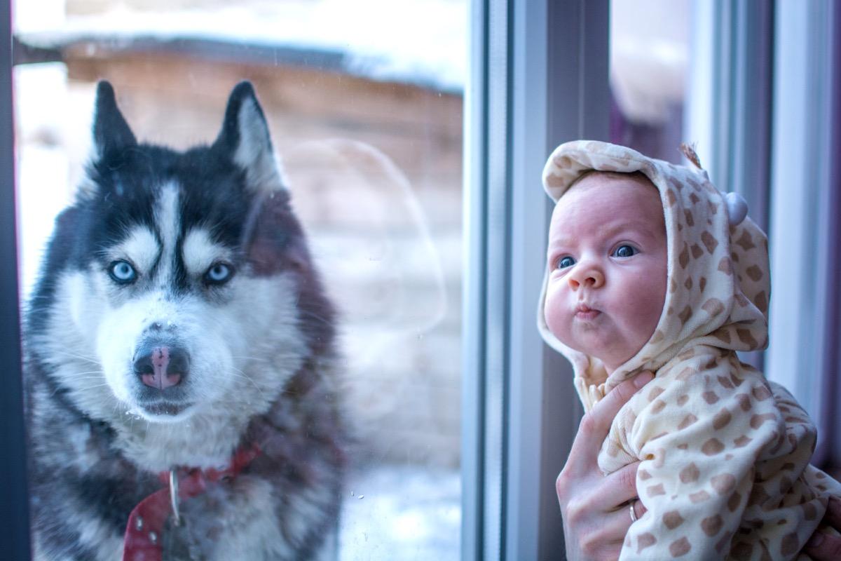 Baby and husky dog