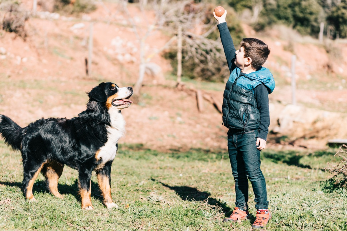 Bernese mountain dog playing with a child