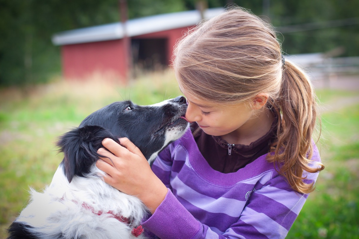 Border collie giving kisses to a child