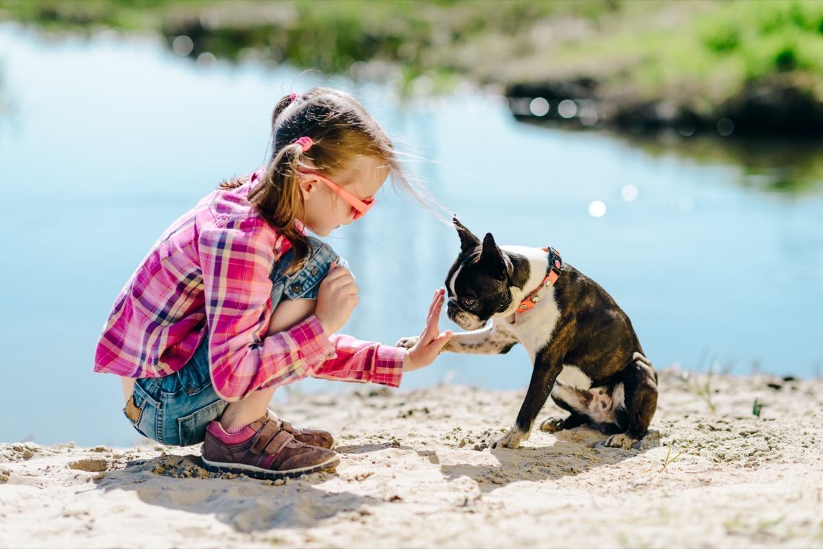 Boston terrier giving a girl paw