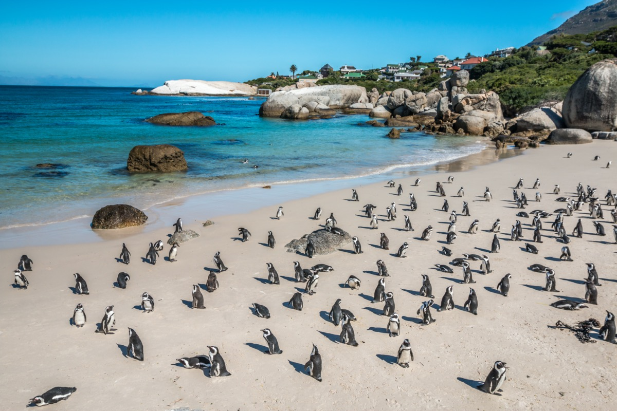 a school of penguins on a beach in south africa