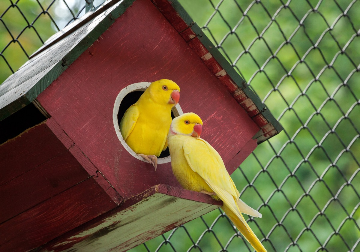 two canaries in a red birdhouse