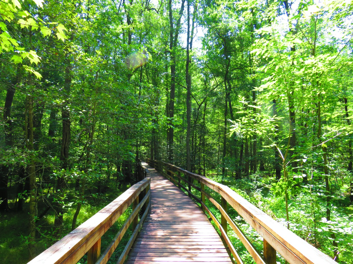 boardwalk at the congaree national park