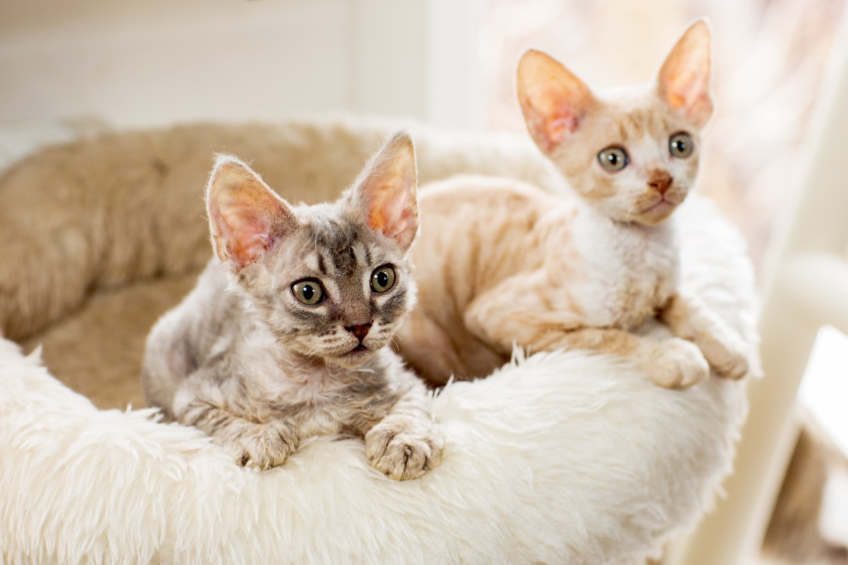 two cornish rex kittens in pet bed