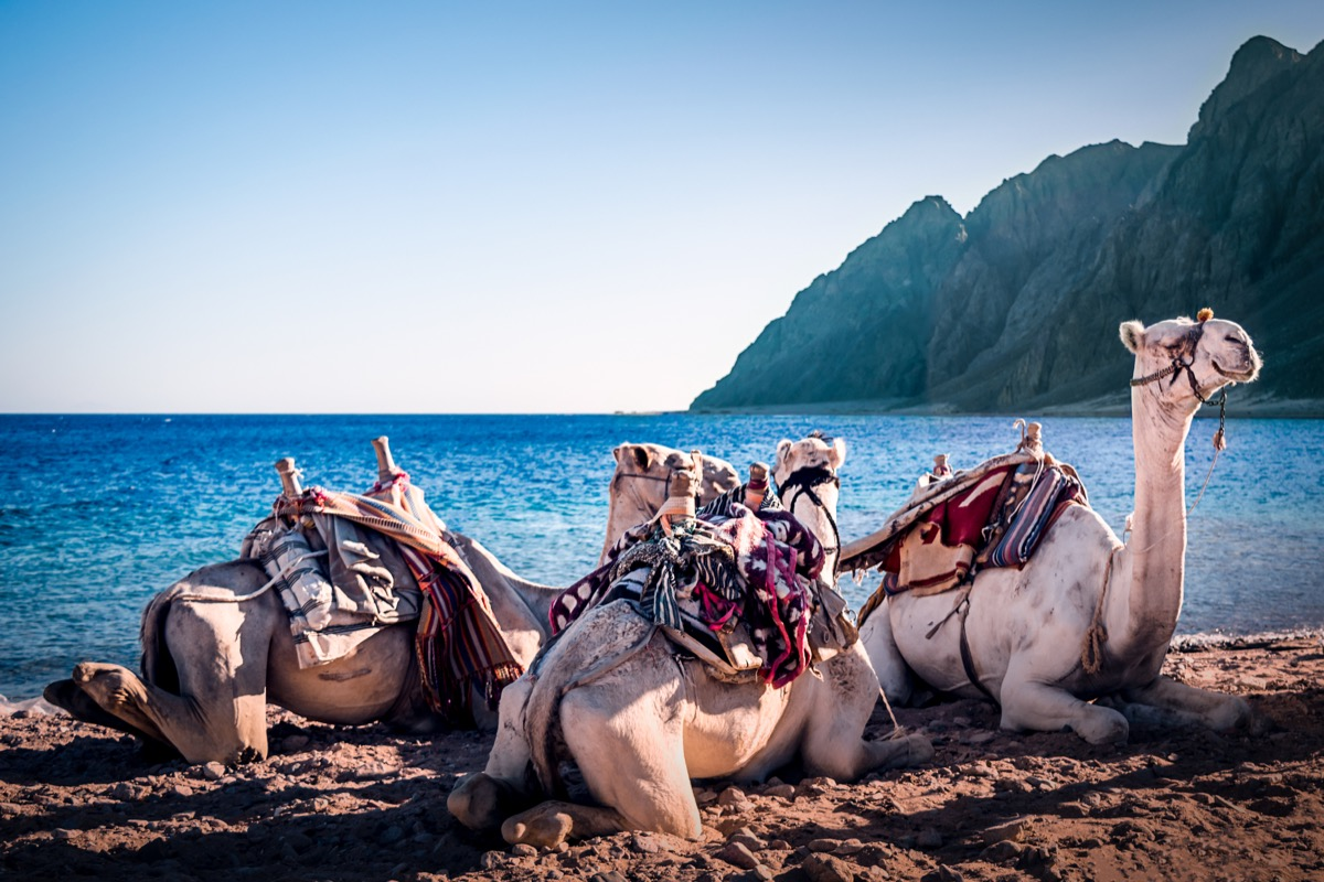 Camels on the beach three Pools Dahab