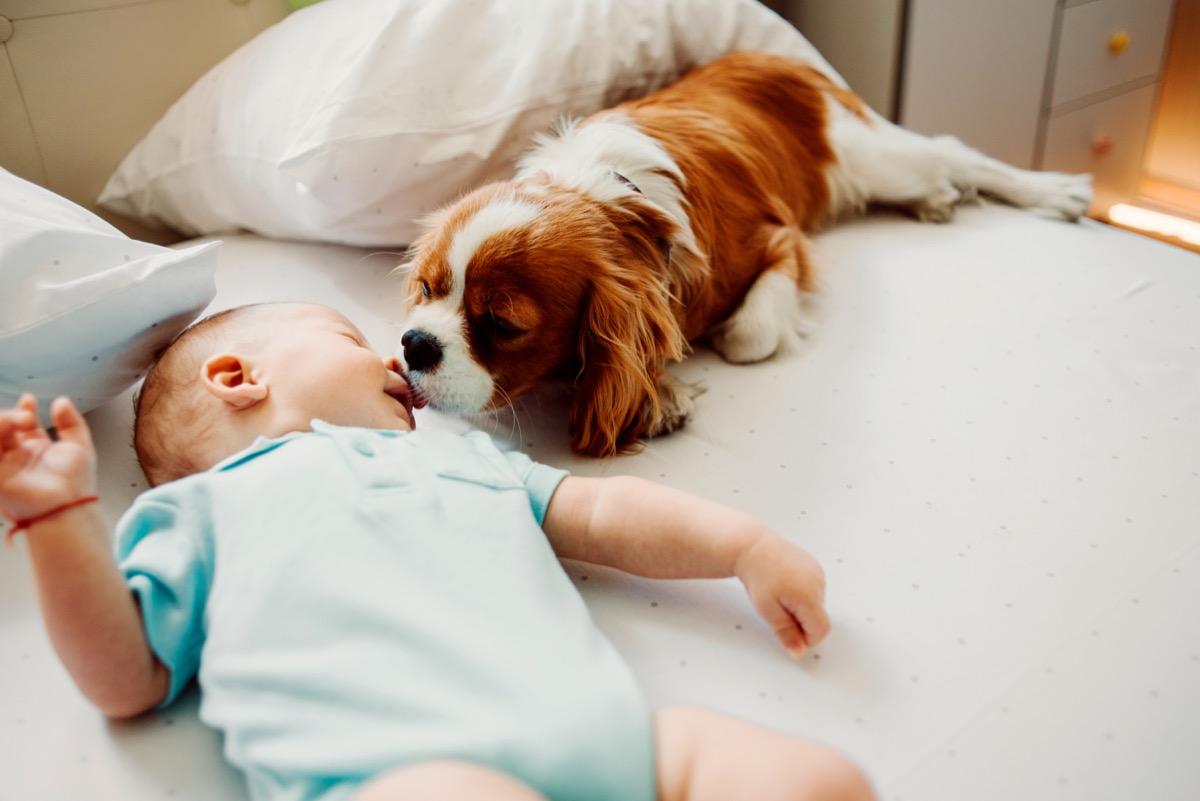 Dog giving baby good morning lick kiss