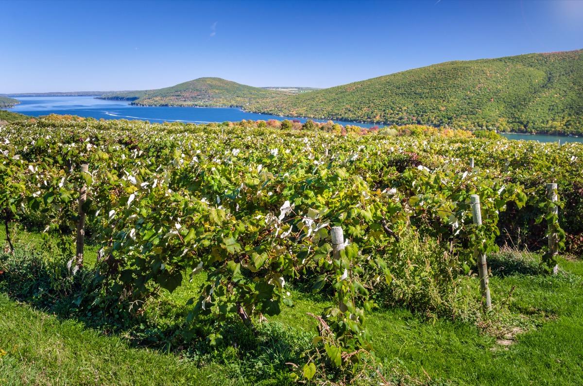 vineyard overlooking the water in finger lakes