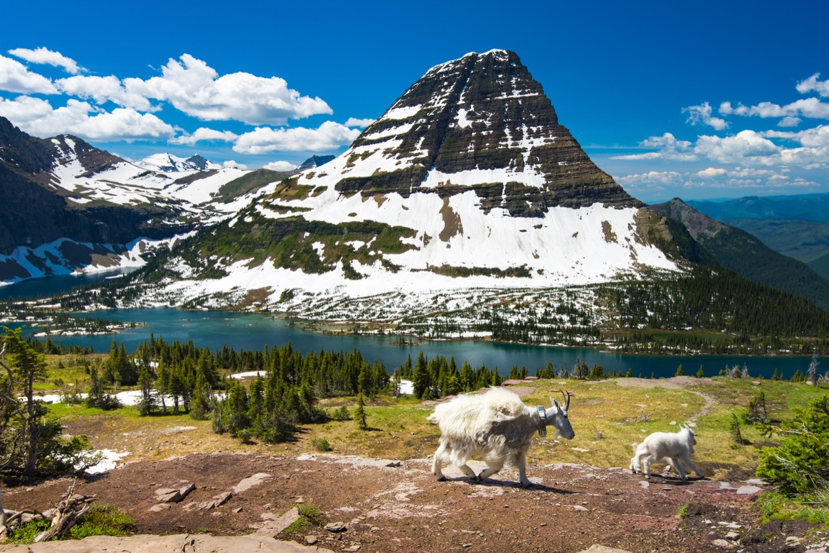 glacier national park with mountain goats roaming around