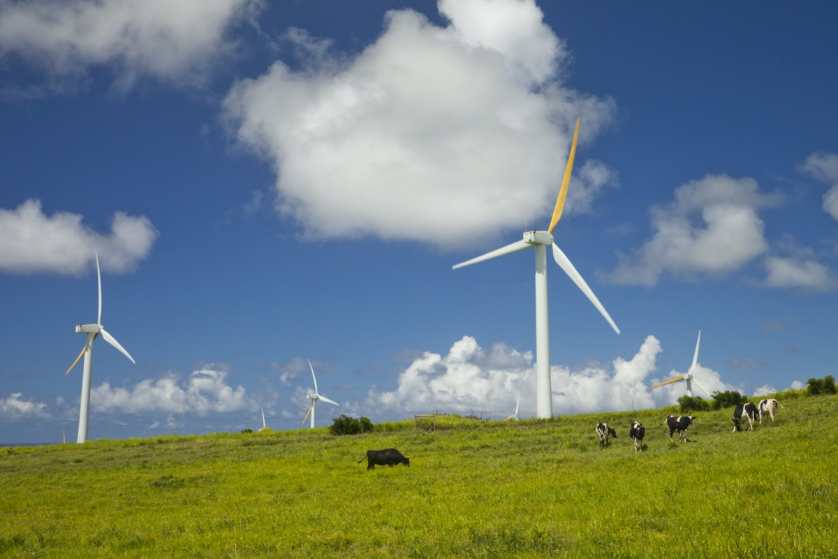 Cows grazing next to windmill farm on a bright sunny day. Hawi wind power plant