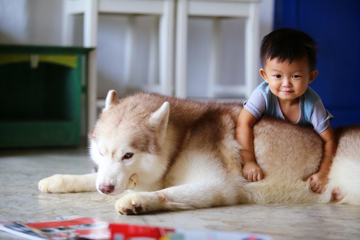 Husky and little boy