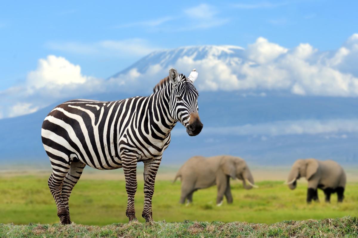 zebra on elephant and Kilimanjaro background, Kenya