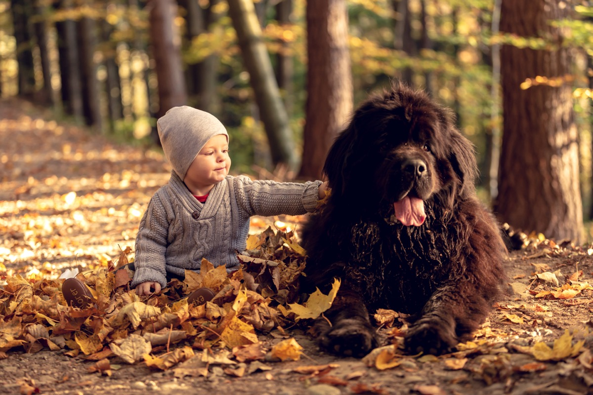 Newfoundland dog and baby in the leaves in the fall