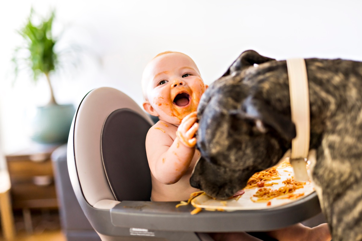 Funny pitbull eating baby's spaghetti