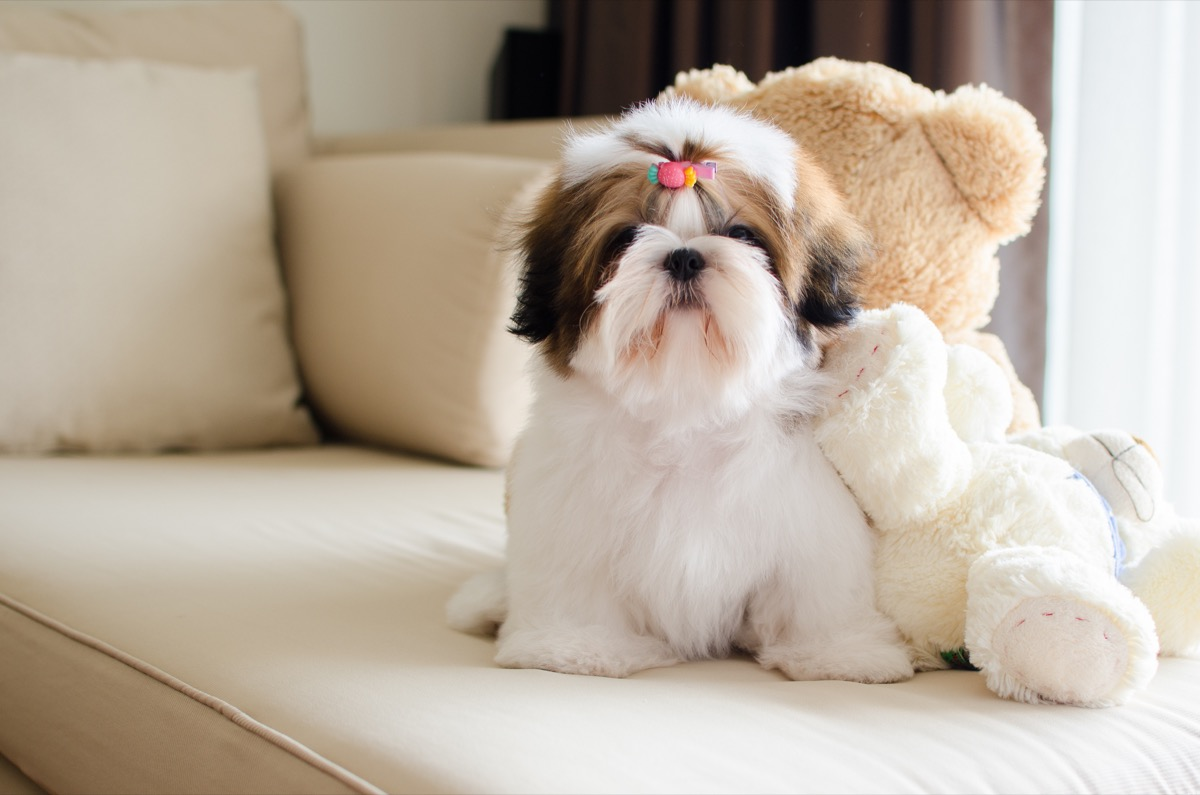 white and brown shih tzu with teddy bear on couch