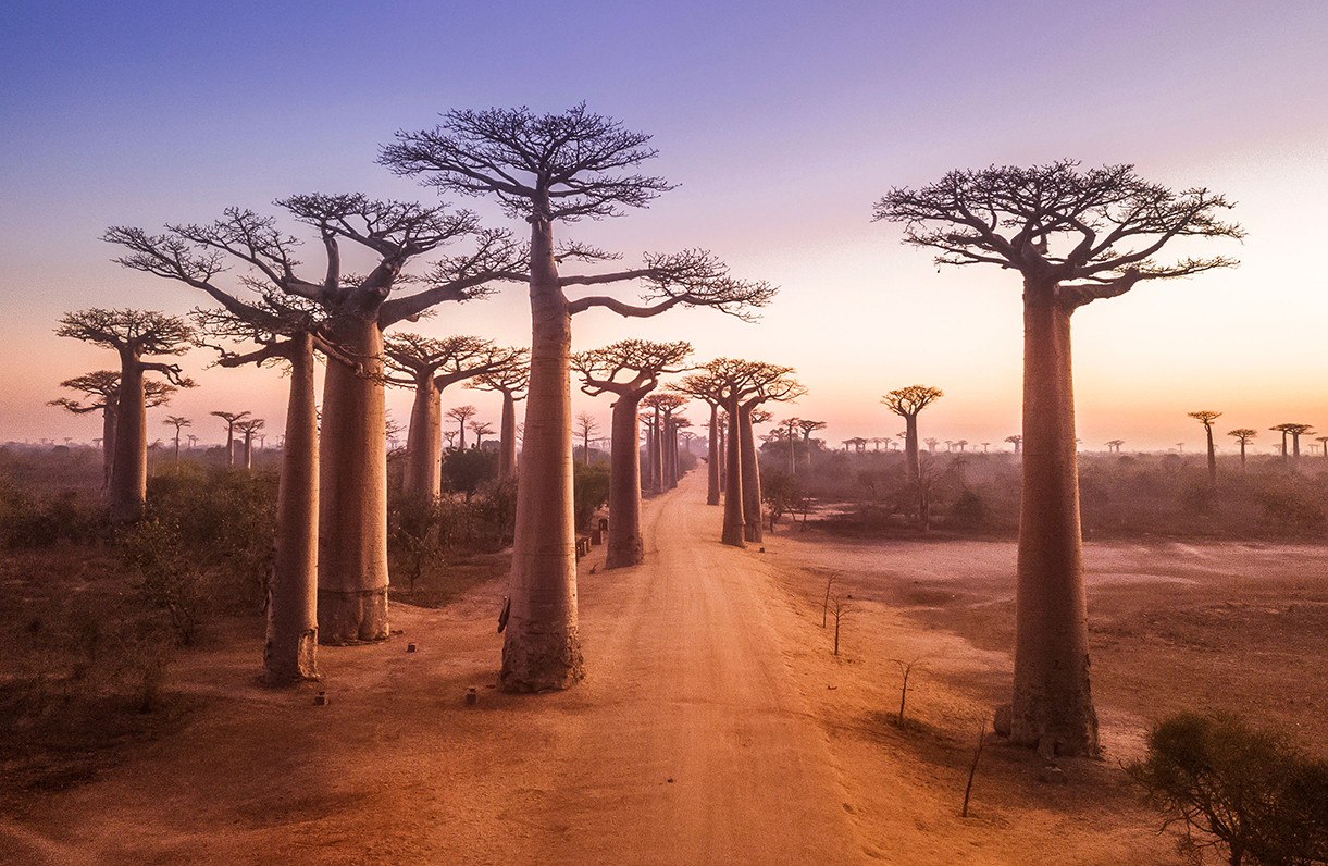 picturesque dirt road in africa hovered by gigantic baobab trees