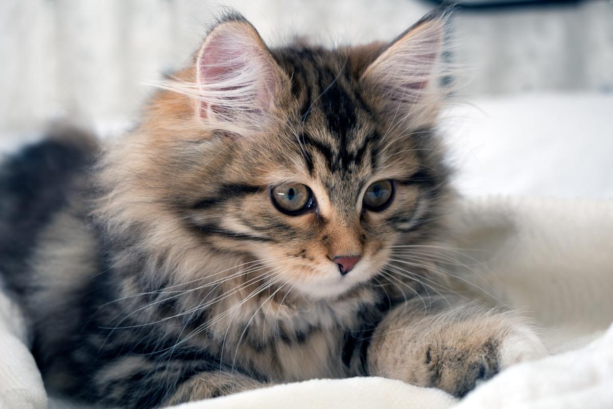 fluffy siberian kitten