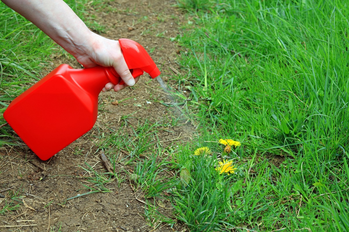 Spraying weeds with spray bottle