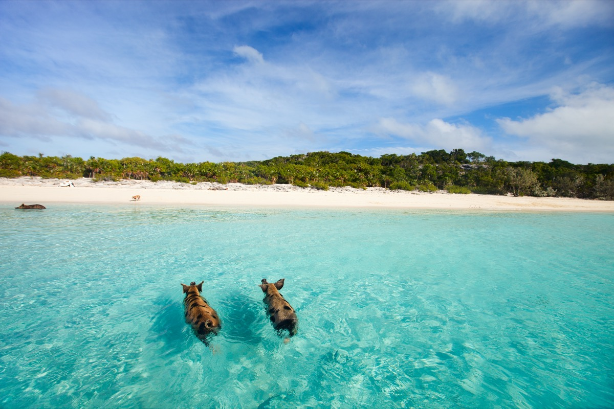 two pigs swimming near the beach