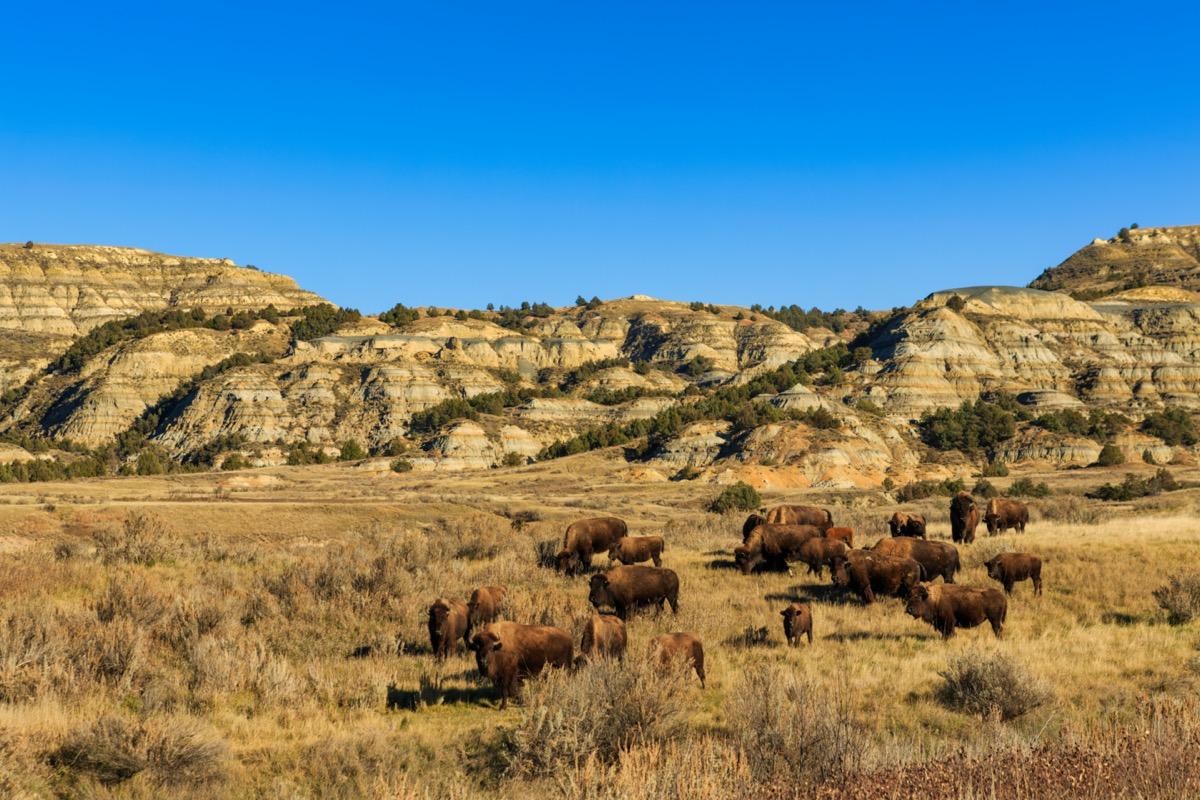 theodore roosevelt national park full of wild buffalos