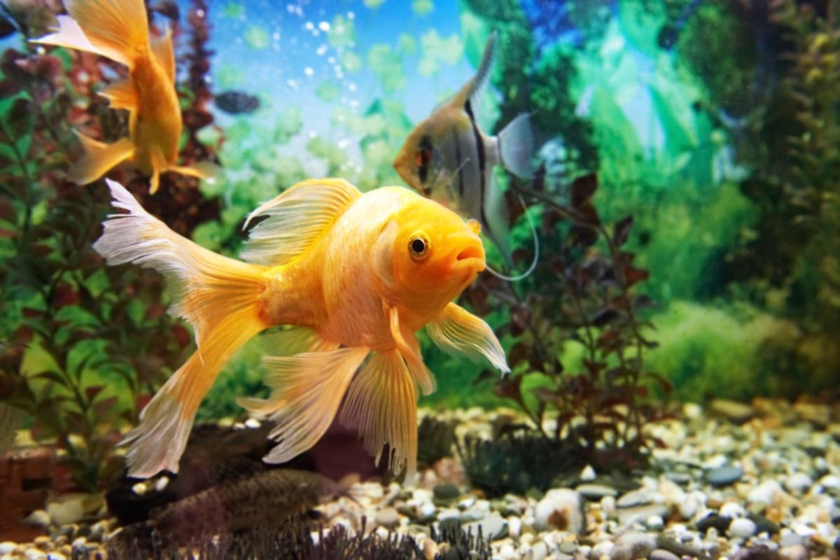 orange tropical fish in tank