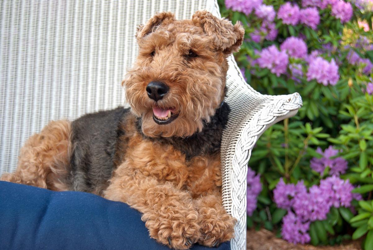 welsh terrier on wicker chair