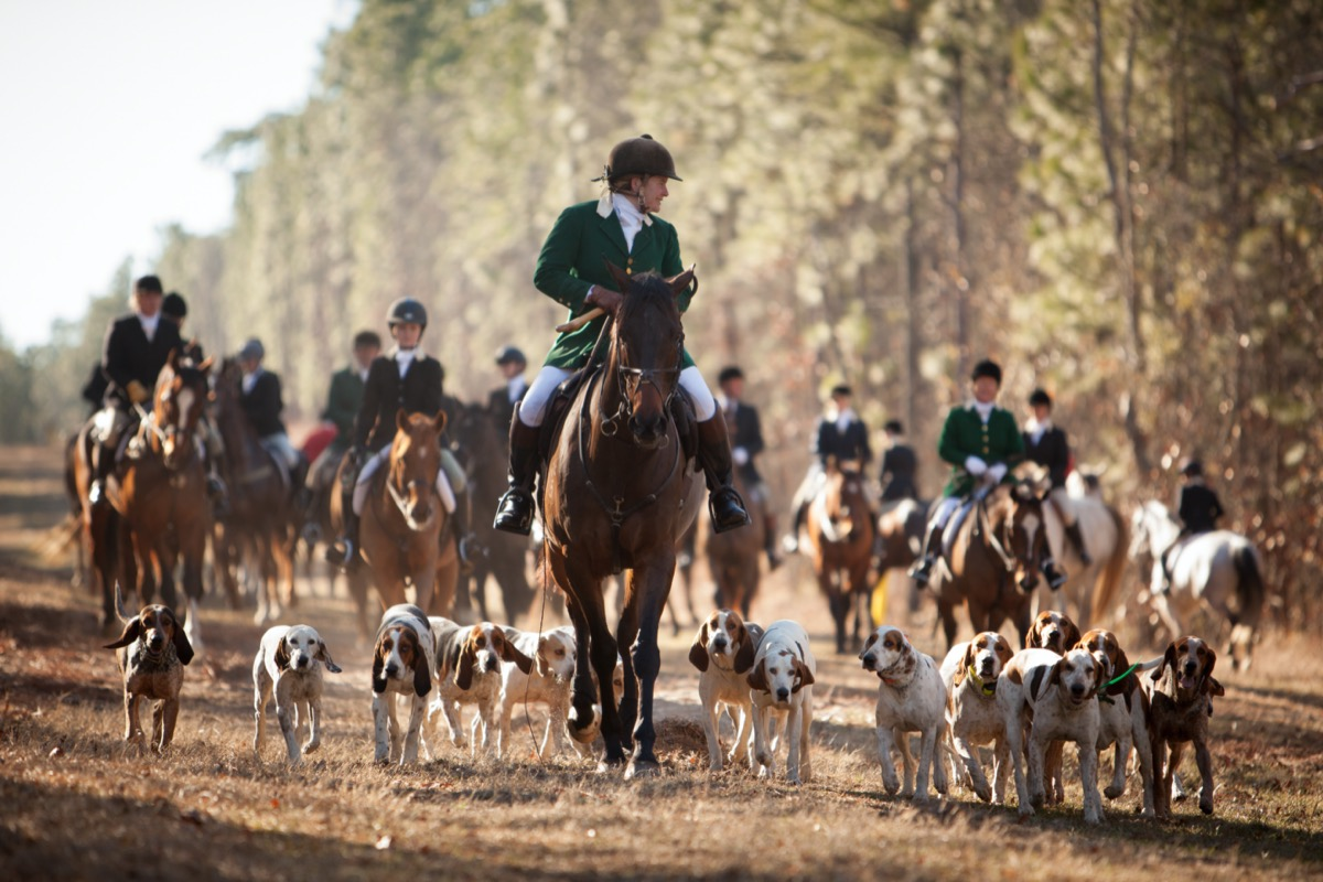 fox hunters and hounds in the woods