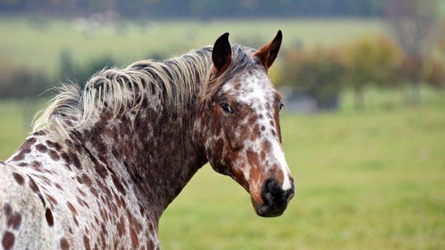 appaloosa horse closeup looking at the camera