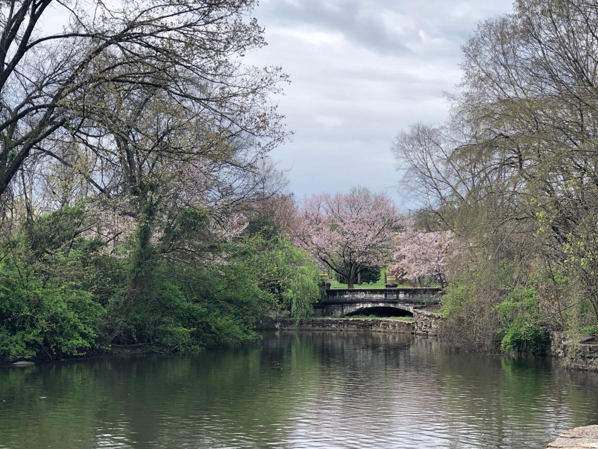 cherry blossom in america at the centennial park Nashville