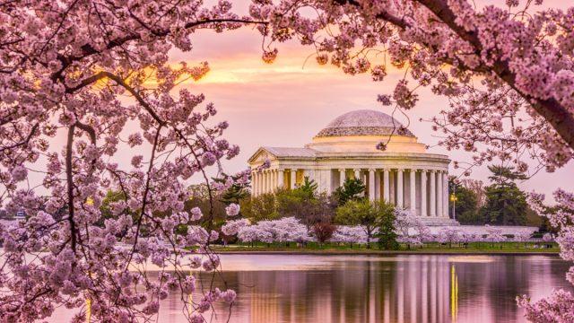 cherry blossom in washington d.c.