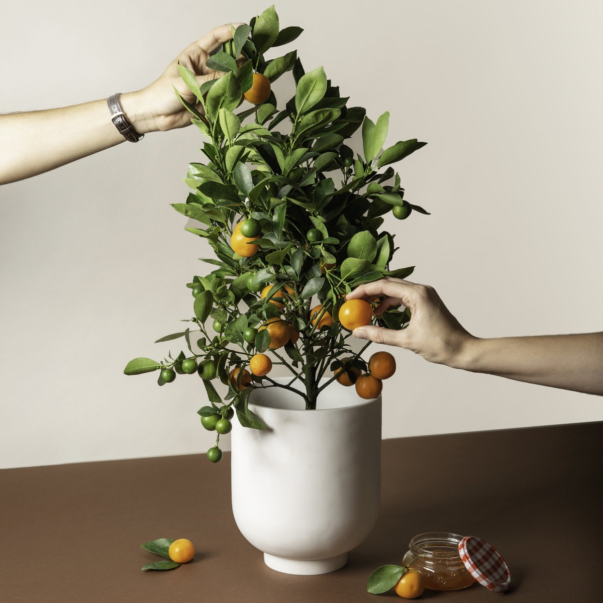 white hands pruning miniature citrus tree