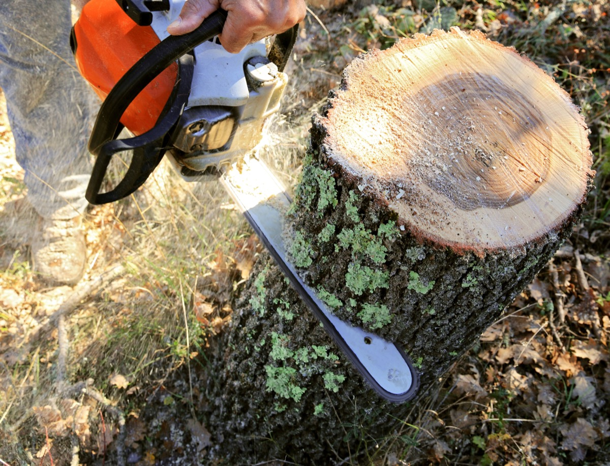 the cutting of a large tree stump