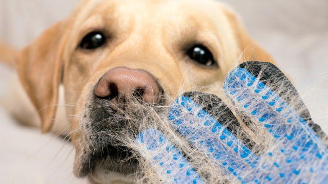 golden retriever closeup with mitt filled with dog hair