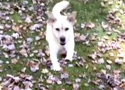 a dog named stella prepares to jump into a pile of leaves