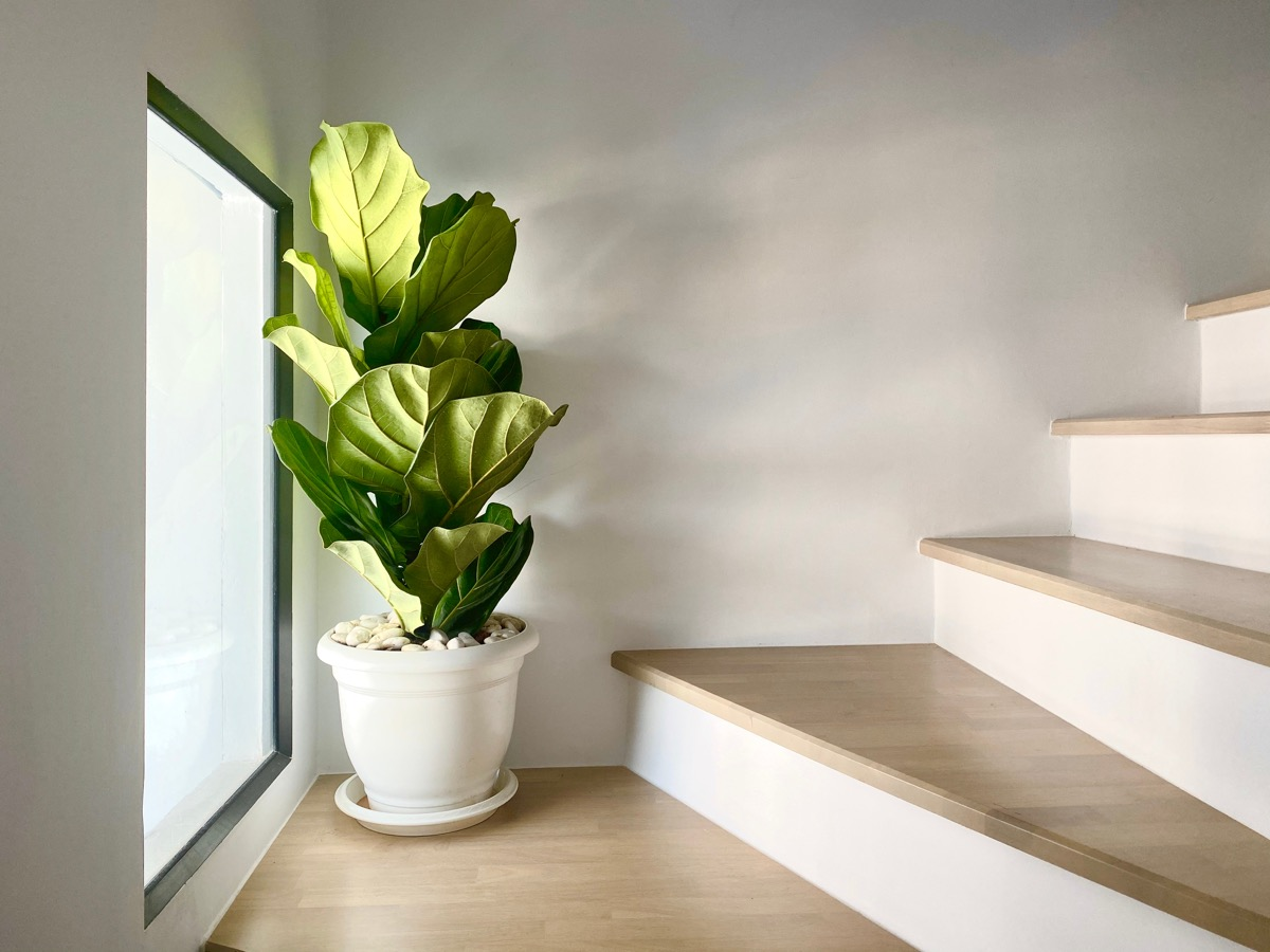 fiddle leaf fig plant on staircase landing