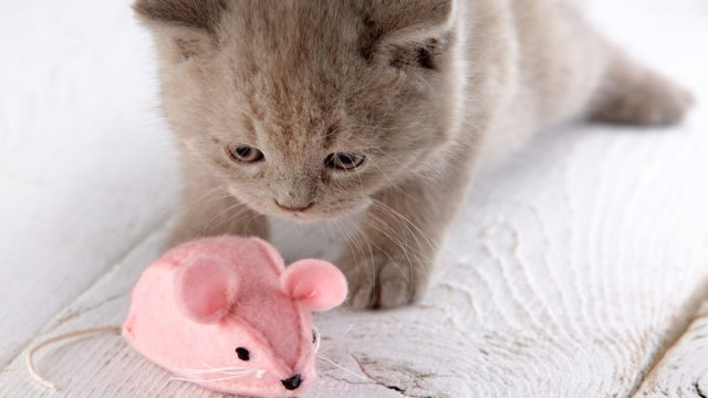 gray kitten with pink toy mouse