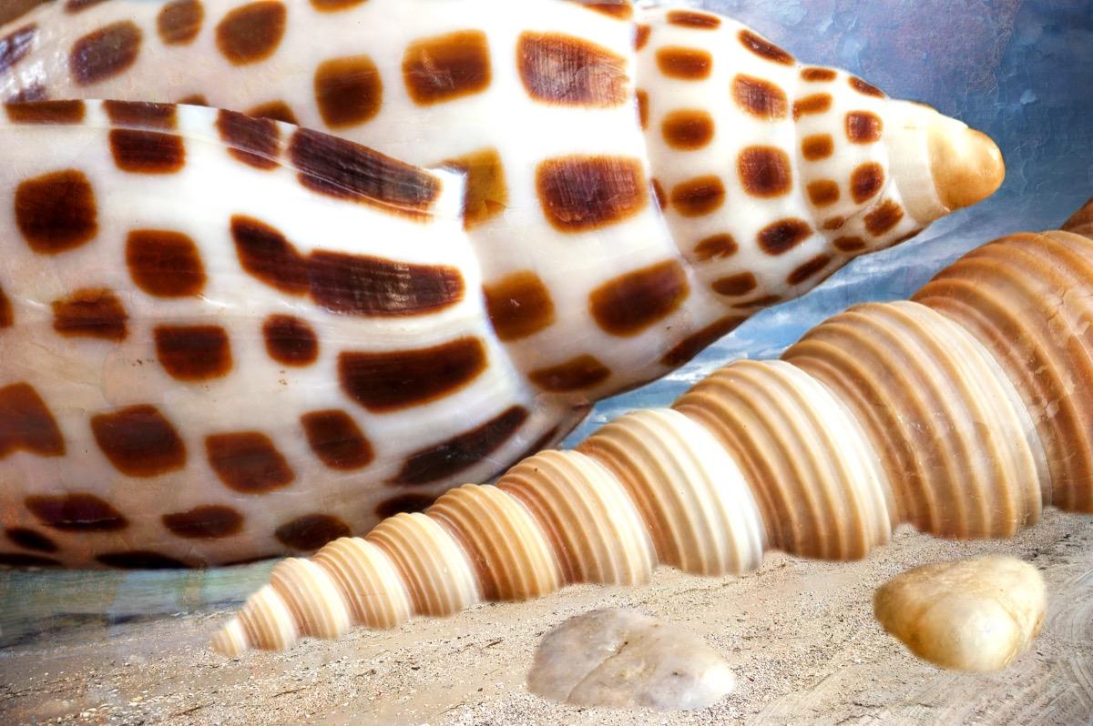junonia shell alabama shell