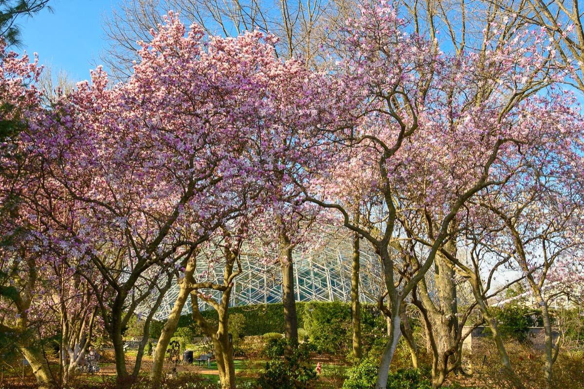 missouri botanical garden full of cherry trees