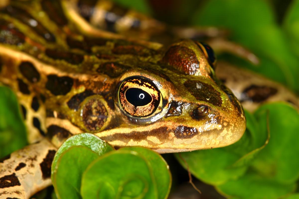 northern leopard frog on leaf